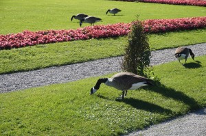 Enten im Schlosspark